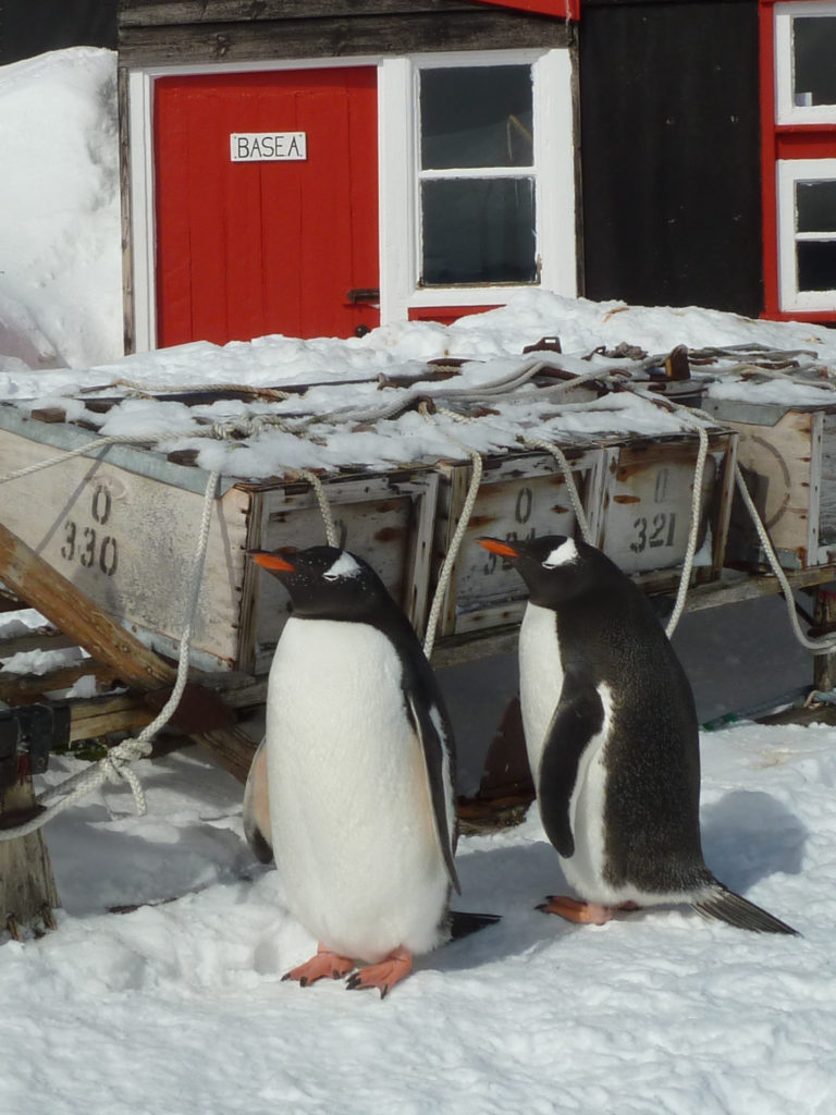 Penguins outside the museum at Port Lockroy